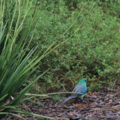 Psephotus haematonotus (Red-rumped Parrot) at Goulburn, NSW - 1 Jan 2021 by Rixon