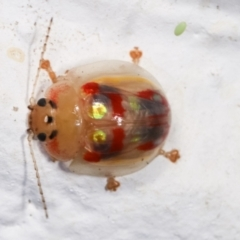 Paropsisterna annularis at Melba, ACT - 17 Dec 2020