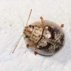 Paropsisterna sp. (genus) (A leaf beetle) at Melba, ACT - 17 Dec 2020 by kasiaaus