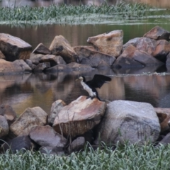 Microcarbo melanoleucos (Little Pied Cormorant) at Goulburn, NSW - 1 Jan 2021 by Rixon