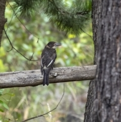 Cracticus torquatus (Grey Butcherbird) at Penrose - 1 Jan 2021 by Aussiegall
