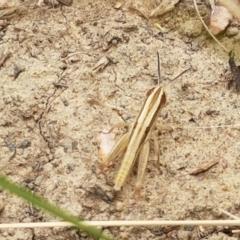 Macrotona australis (Common Macrotona Grasshopper) at Franklin Grassland Reserve - 2 Jan 2021 by tpreston
