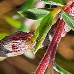 Geometridae (family) IMMATURES (Unidentified IMMATURE Geometer moths) at Gundaroo, NSW - 19 Dec 2020 by Gunyijan
