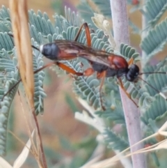 Ichneumonidae sp. (family) (Unidentified ichneumon wasp) at Franklin Grassland Reserve - 2 Jan 2021 by tpreston