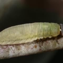 Paropsisterna m-fusca (Eucalyptus Leaf Beetle) at Melba, ACT - 16 Dec 2020 by kasiaaus