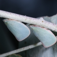 Siphanta sp. (genus) (Green planthopper, Torpedo bug) at Melba, ACT - 16 Dec 2020 by kasiaaus