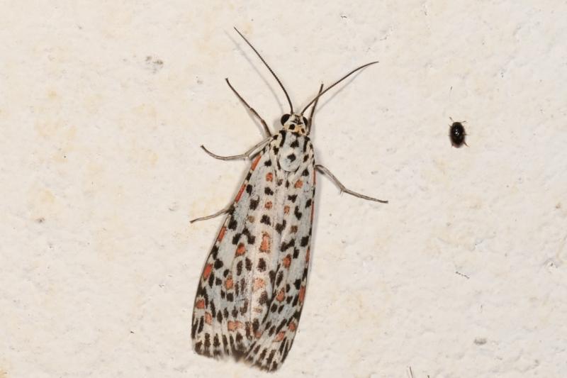 Utetheisa pulchelloides at Melba, ACT - 17 Dec 2020