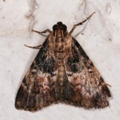 Orthaga thyrisalis (Teatree Web Moth) at Melba, ACT - 16 Dec 2020 by kasiaaus