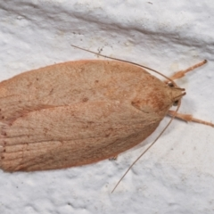 Garrha leucerythra (A concealer moth) at Melba, ACT - 16 Dec 2020 by kasiaaus
