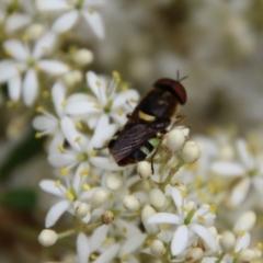 Odontomyia sp. (genus) (Soldier fly) at Hughes, ACT - 1 Jan 2021 by LisaH