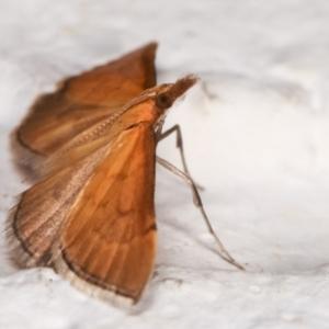 Myriostephes matura at Melba, ACT - 16 Dec 2020