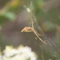 Argiope protensa (Long-tailed Argiope) at Red Hill Nature Reserve - 1 Jan 2021 by LisaH
