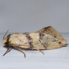 Psaroxantha undescribed species (A concealer moth) at Melba, ACT - 16 Dec 2020 by kasiaaus
