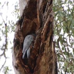 Callocephalon fimbriatum (Gang-gang Cockatoo) at Hughes, ACT - 1 Jan 2021 by LisaH