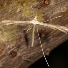 Pterophoridae sp. (family) (A Plume Moth) at Melba, ACT - 16 Dec 2020 by kasiaaus