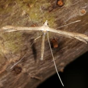 Pterophoridae (family) at Melba, ACT - 16 Dec 2020