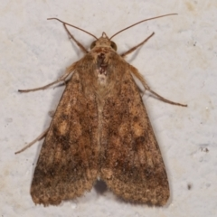 Helicoverpa (genus) (A bollworm) at Melba, ACT - 16 Dec 2020 by kasiaaus