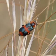 Dicranolaius concinicornis (Melyrid flower beetle) at Michelago, NSW - 26 Dec 2020 by Illilanga