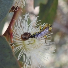 Tiphiidae sp. (family) (Unidentified Smooth flower wasp) at Tuggeranong DC, ACT - 2 Jan 2021 by HelenCross