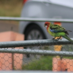Platycercus eximius (Eastern Rosella) at Goulburn, NSW - 1 Jan 2021 by Rixon