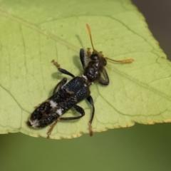 Scrobiger splendidus (Clerid beetle) at Michelago, NSW - 14 Dec 2019 by Illilanga