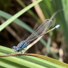 Ischnura heterosticta (Common Bluetail) at Murrumbateman, NSW - 2 Jan 2021 by SimoneC