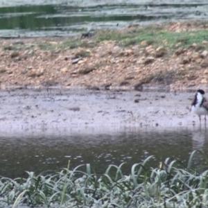 Vanellus miles at Goulburn, NSW - 1 Jan 2021
