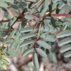 Indigofera australis subsp. australis at Illilanga & Baroona - 17 Oct 2020
