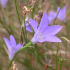 Wahlenbergia sp. (Bluebell) at Watson, ACT - 2 Jan 2021 by waltraud