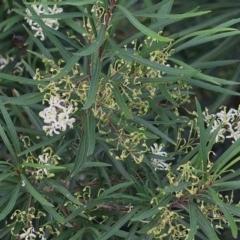 Lomatia myricoides (Long-leaf Lomatia) at Panboola - 24 Dec 2020 by Kyliegw