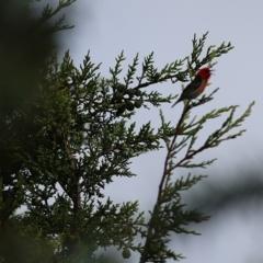 Myzomela sanguinolenta (Scarlet Honeyeater) at Panboola - 24 Dec 2020 by Kyliegw