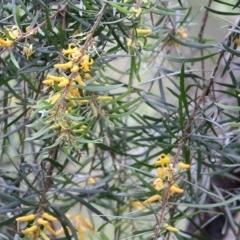 Persoonia linearis (Narrow-leaved Geebung) at Merimbula, NSW - 30 Dec 2020 by Kyliegw