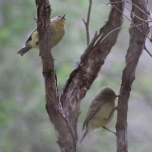 Acanthiza nana (Yellow Thornbill) at Merimbula, NSW by Kyliegw