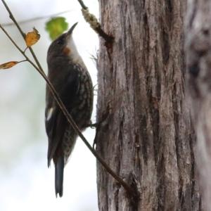 Cormobates leucophaea (White-throated Treecreeper) at Wallagoot, NSW by Kyliegw