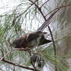 Rhipidura albiscapa (Grey Fantail) at Wallagoot, NSW - 30 Dec 2020 by Kyliegw