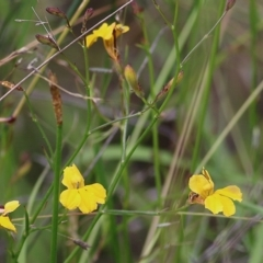 Goodenia paniculata (Branched Goodenia) at Wallagoot, NSW - 30 Dec 2020 by Kyliegw