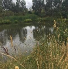 Platalea regia (Royal Spoonbill) at Gungaderra Creek Ponds - 1 Jan 2021 by Oberon