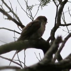 Cacomantis variolosus (Brush cuckoo) at Wallagoot, NSW - 30 Dec 2020 by Kyliegw