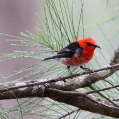 Myzomela sanguinolenta (Scarlet Honeyeater) at Wallagoot, NSW - 30 Dec 2020 by Kyliegw