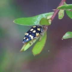 Astraeus (Astraeus) dilutipes (A jewel beetle) at Budawang, NSW - 2 Jan 2021 by LisaH