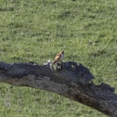 Falco cenchroides (Nankeen Kestrel) at Michelago, NSW - 18 Oct 2020 by Illilanga