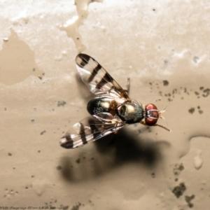 Rivellia sp. (genus) at ANBG - 29 Dec 2020