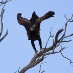 Aquila audax (Wedge-tailed Eagle) at Illilanga & Baroona - 22 Jun 2012 by Illilanga