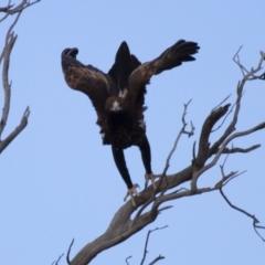 Aquila audax (Wedge-tailed Eagle) at Illilanga & Baroona - 22 Jun 2012 by Illilanga