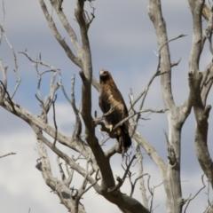 Aquila audax (Wedge-tailed Eagle) at Illilanga & Baroona - 18 Feb 2014 by Illilanga