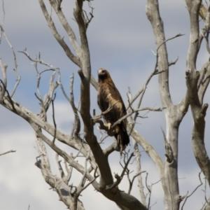 Aquila audax at Michelago, NSW - 18 Feb 2014