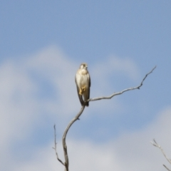 Falco cenchroides (Nankeen Kestrel) at Illilanga & Baroona - 18 Feb 2014 by Illilanga