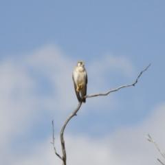 Falco cenchroides (Nankeen Kestrel) at Illilanga & Baroona - 18 Feb 2014 by Illilanga