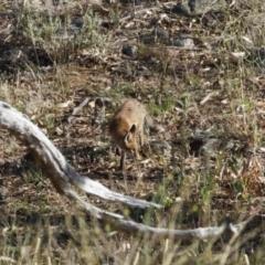 Vulpes vulpes (Red Fox) at Illilanga & Baroona - 27 Dec 2020 by Illilanga