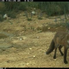 Vulpes vulpes (Red Fox) at Michelago, NSW - 24 Dec 2020 by Illilanga